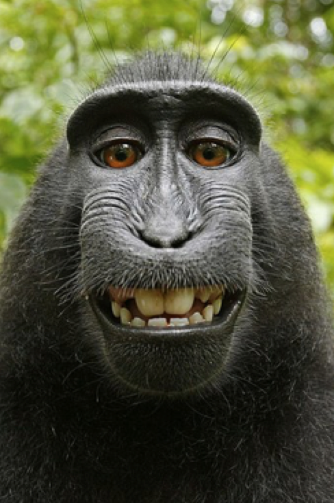 - This crested black macaque monkey took a selfie, setting off a copyright battle. PETA argued (unsuccessfully) that the monkey should have all legal rights to the photograph.