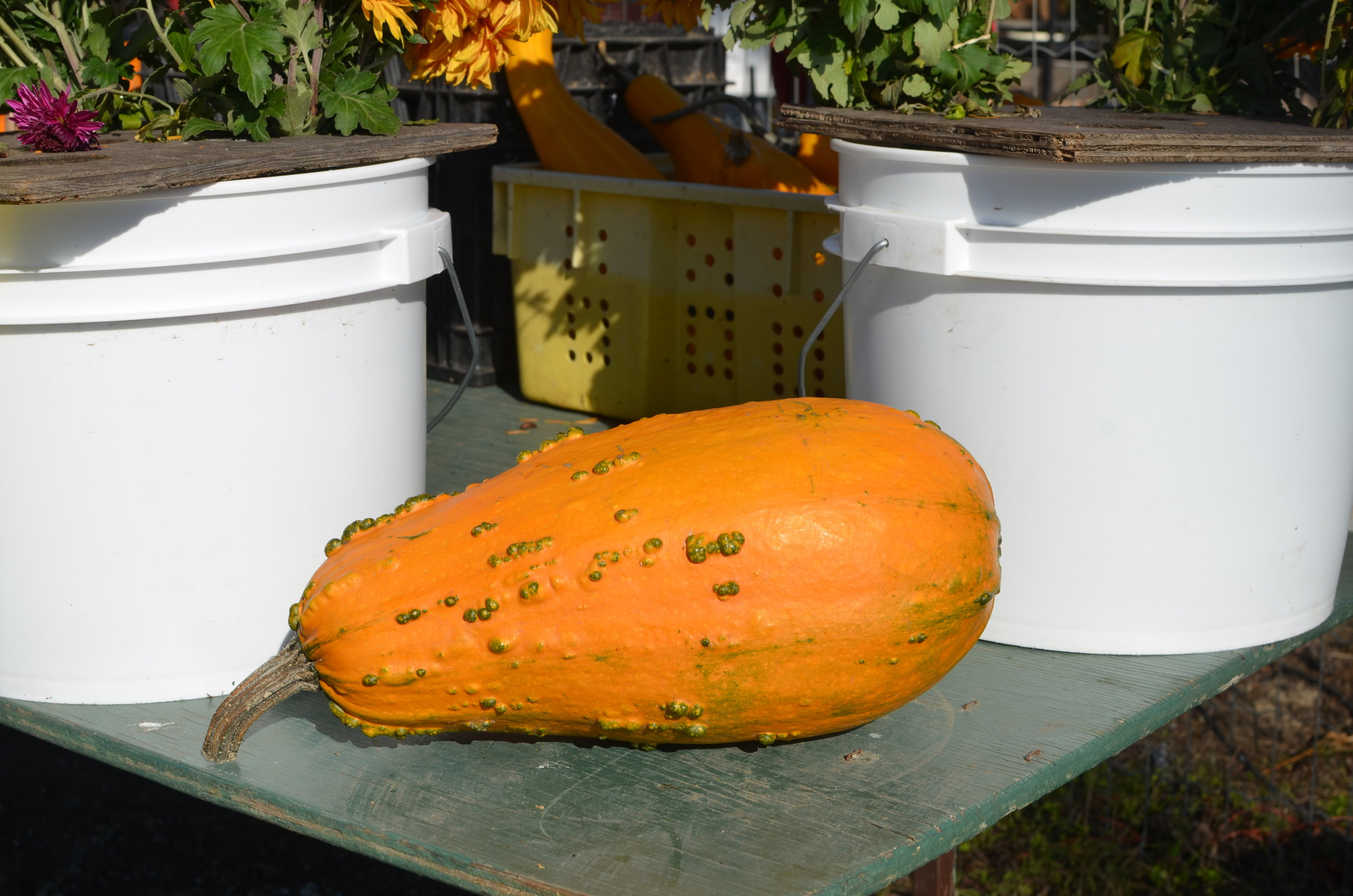 Ornamental Gourds2.jpg