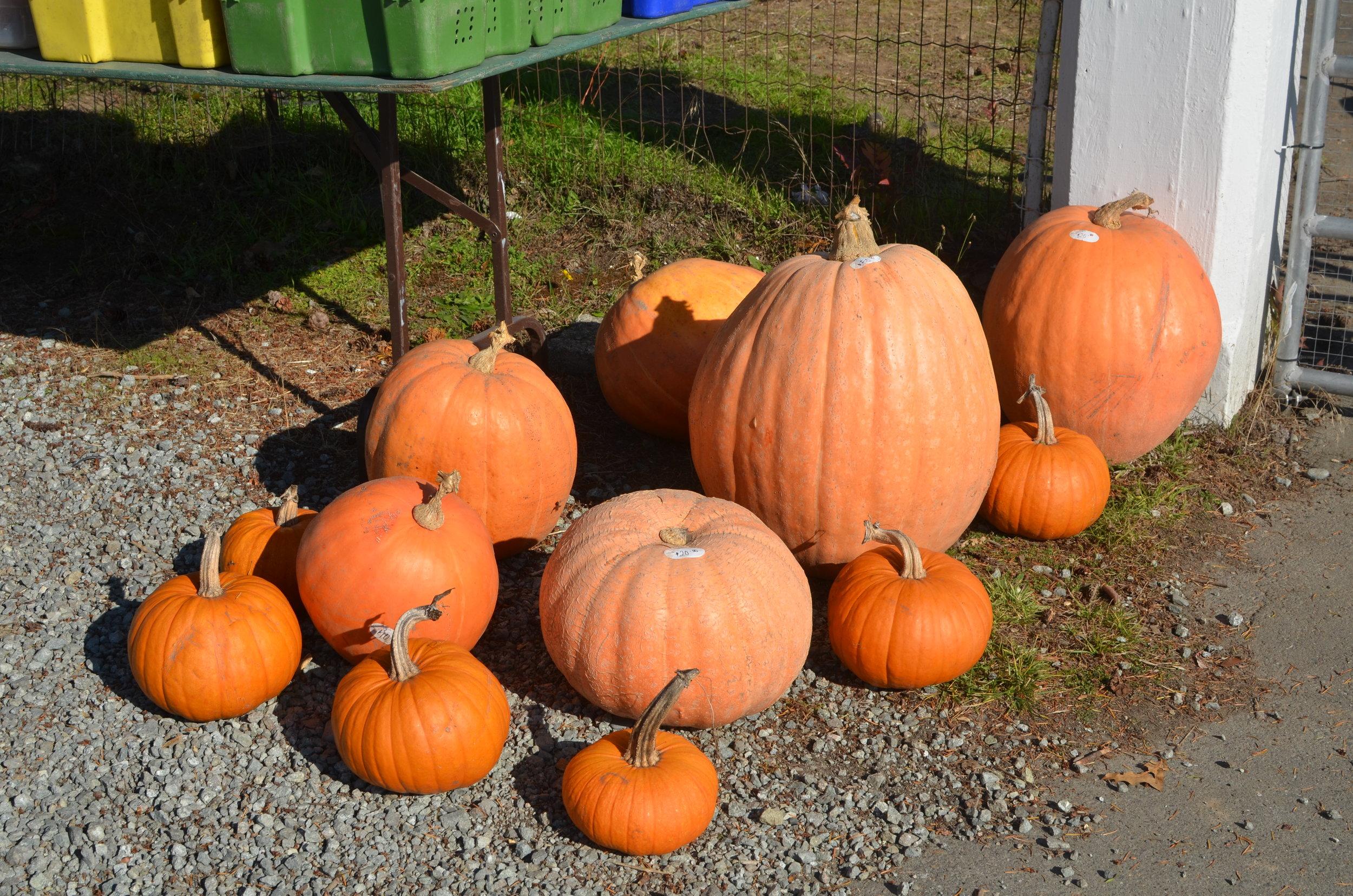Regular and Giant Pumpkins.jpg