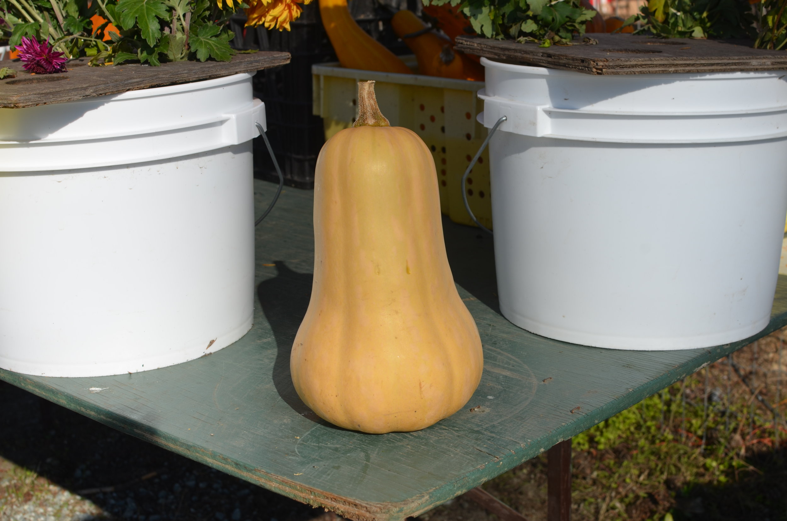 Butternut Squash - Bright orange flesh.Ideal for soups, risotto, gnocchi and ravioli.