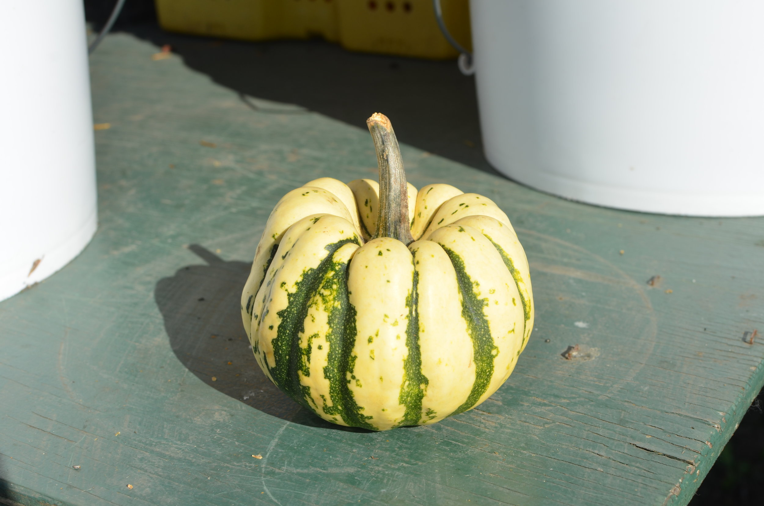 Sweet Dumpling Squash - Similar in taste to a sweet potato.Ideal baked, roasted, mashed or in soups.