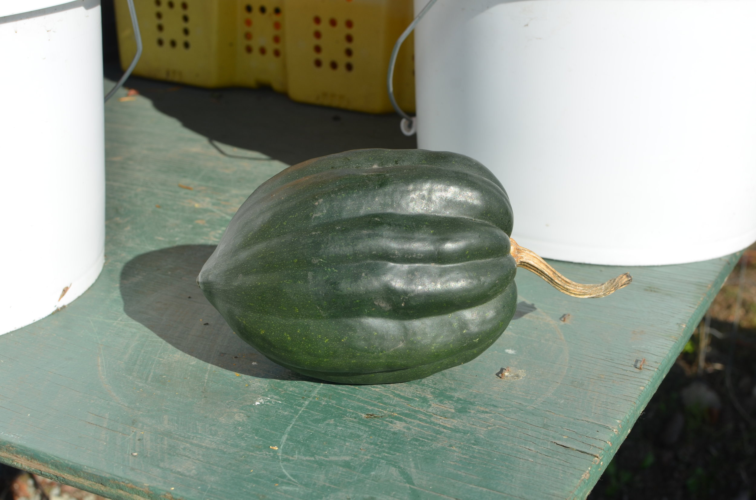 Acorn Squash - Mild in flavour, very versatile. Yellow flesh is earthy and slightly sweet.Ideal baked, roasted, and stuffing.