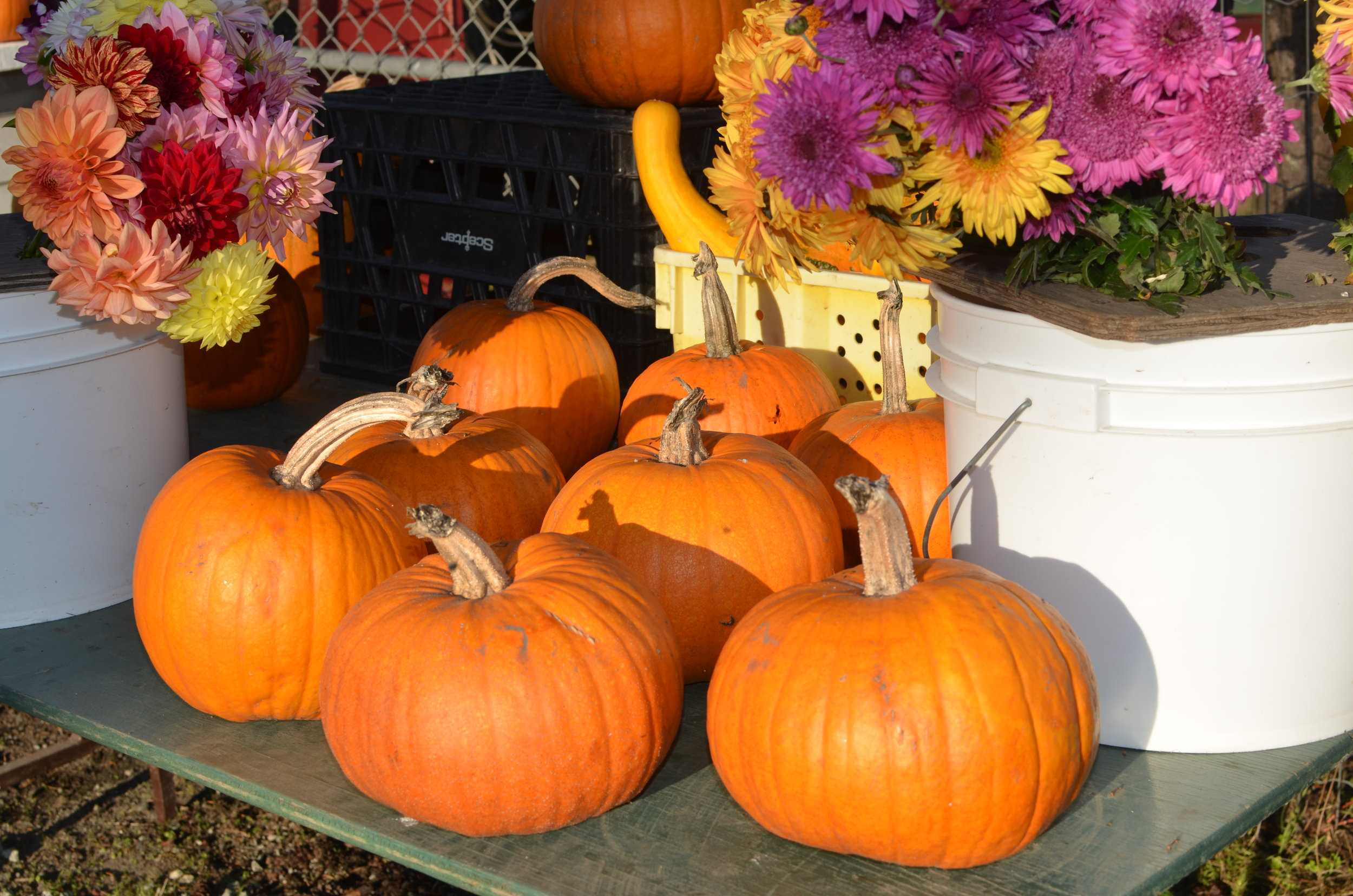 Sugar Pie Pumpkin - Classically used for pumpkin pie.Ideal for soups or roasted.