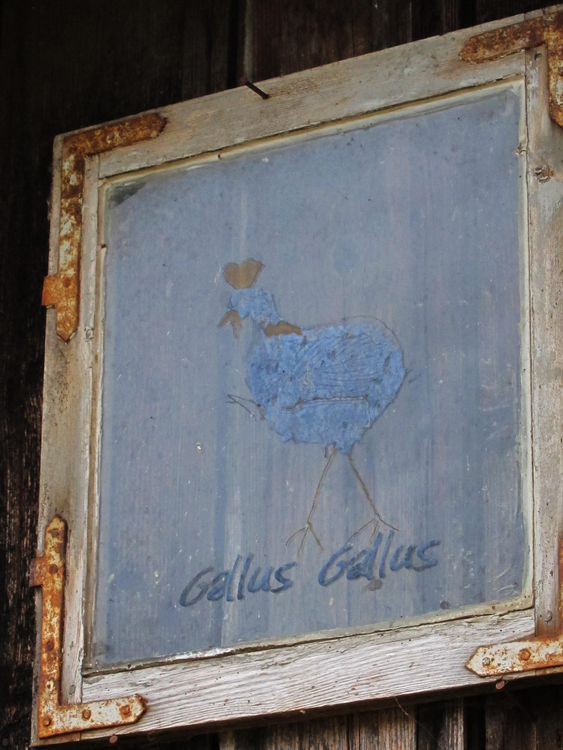Hønsegård - Ingunn sin hønsegård fikk eget Gallus gallus-vindu, selvsagt! Nå pryder det uthusveggen.