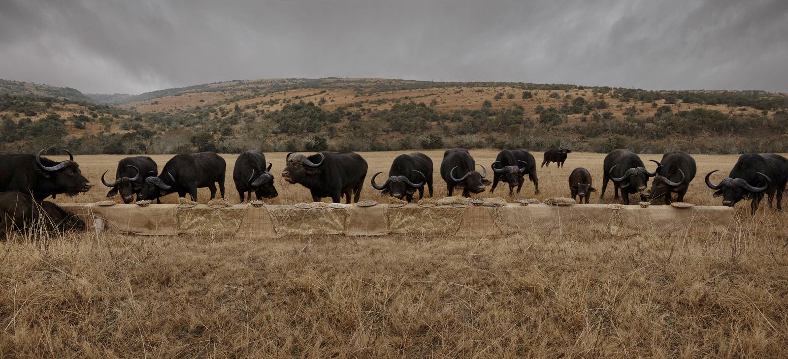 "The Water Buffalo Feast  South Africa, 2016  10""x22"" | 20""x44"" | 40""x88"""