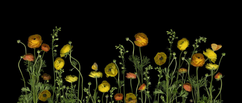 secretgarden_yellowranuculas_horizontalv2 (deleted b'57b05d7ee50d63a1b01553186481df63').jpg