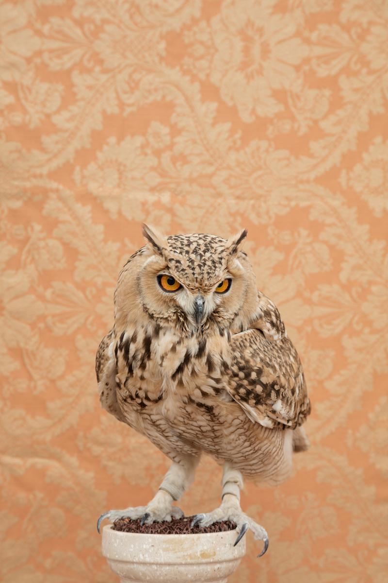 HORNED OWL NO. 4794