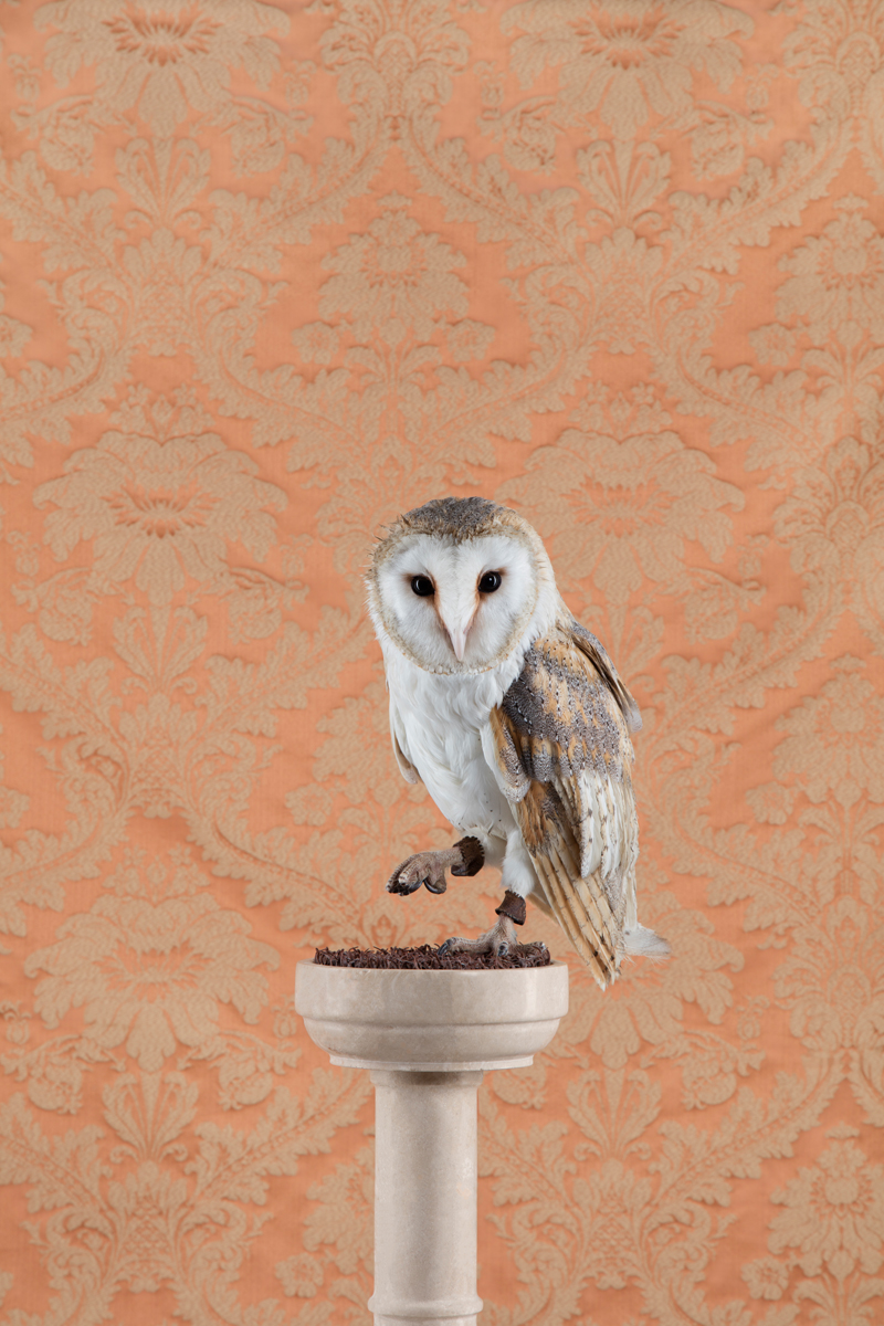 BARN OWL NO. 4300