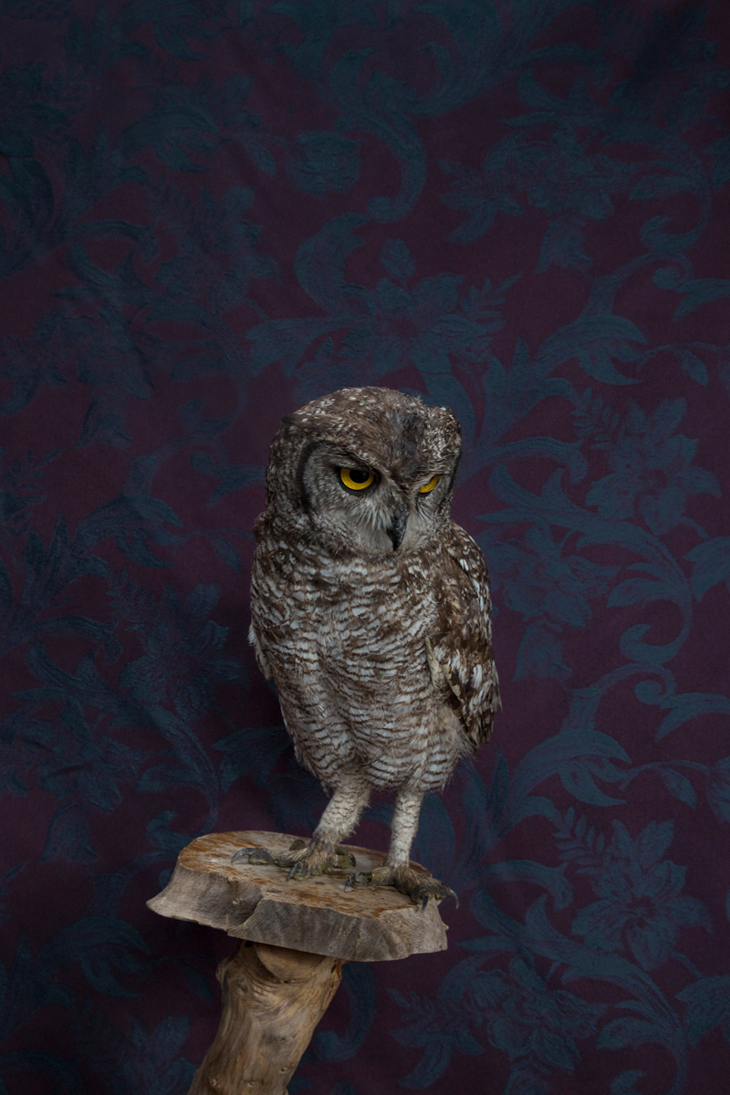 SPOTTED EAGLE OWL NO. 7507