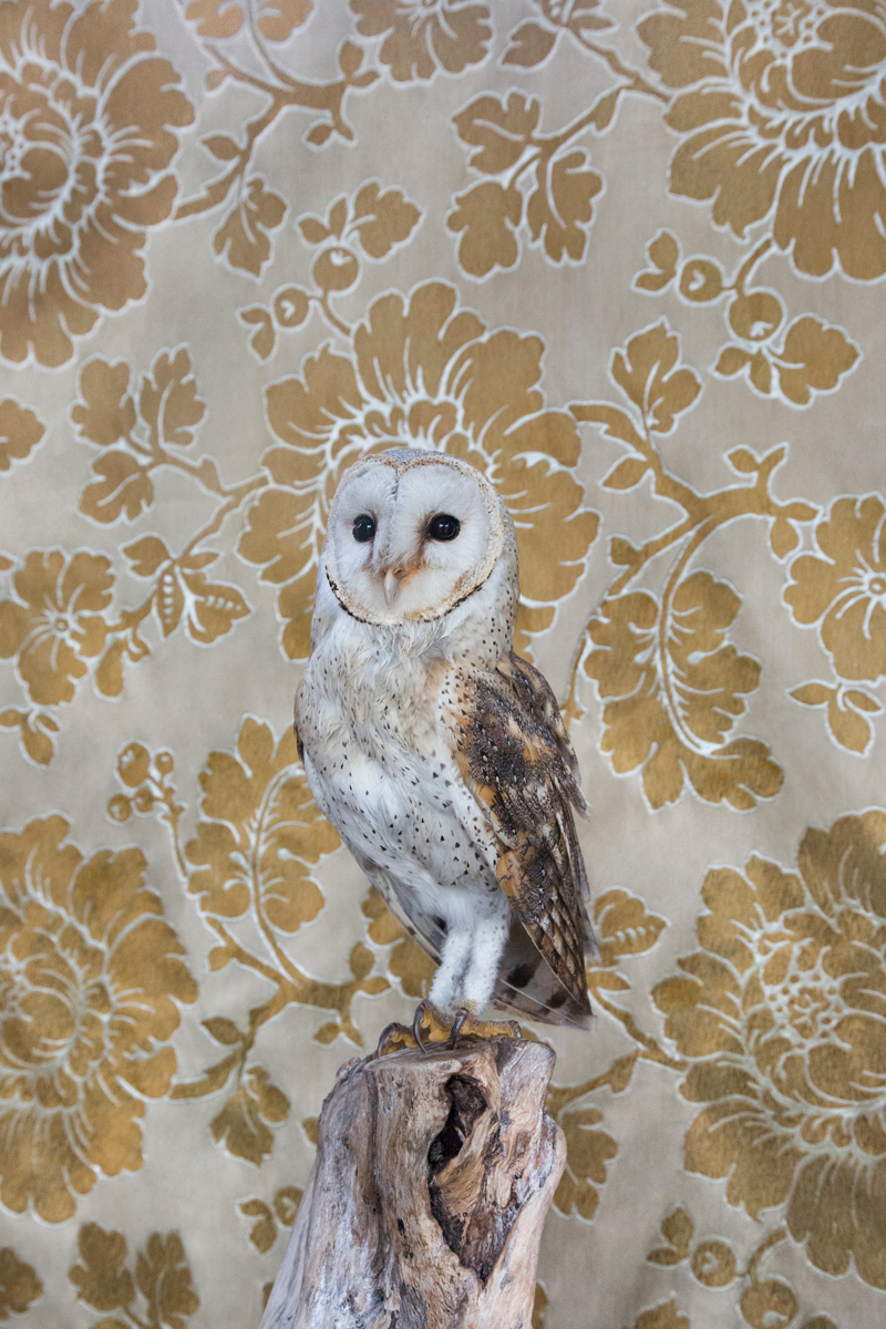 BARN OWL NO. 7315