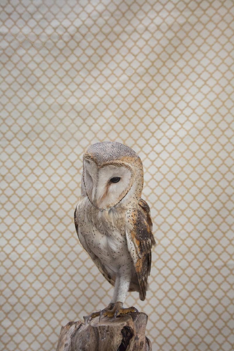 BARN OWL NO. 7298