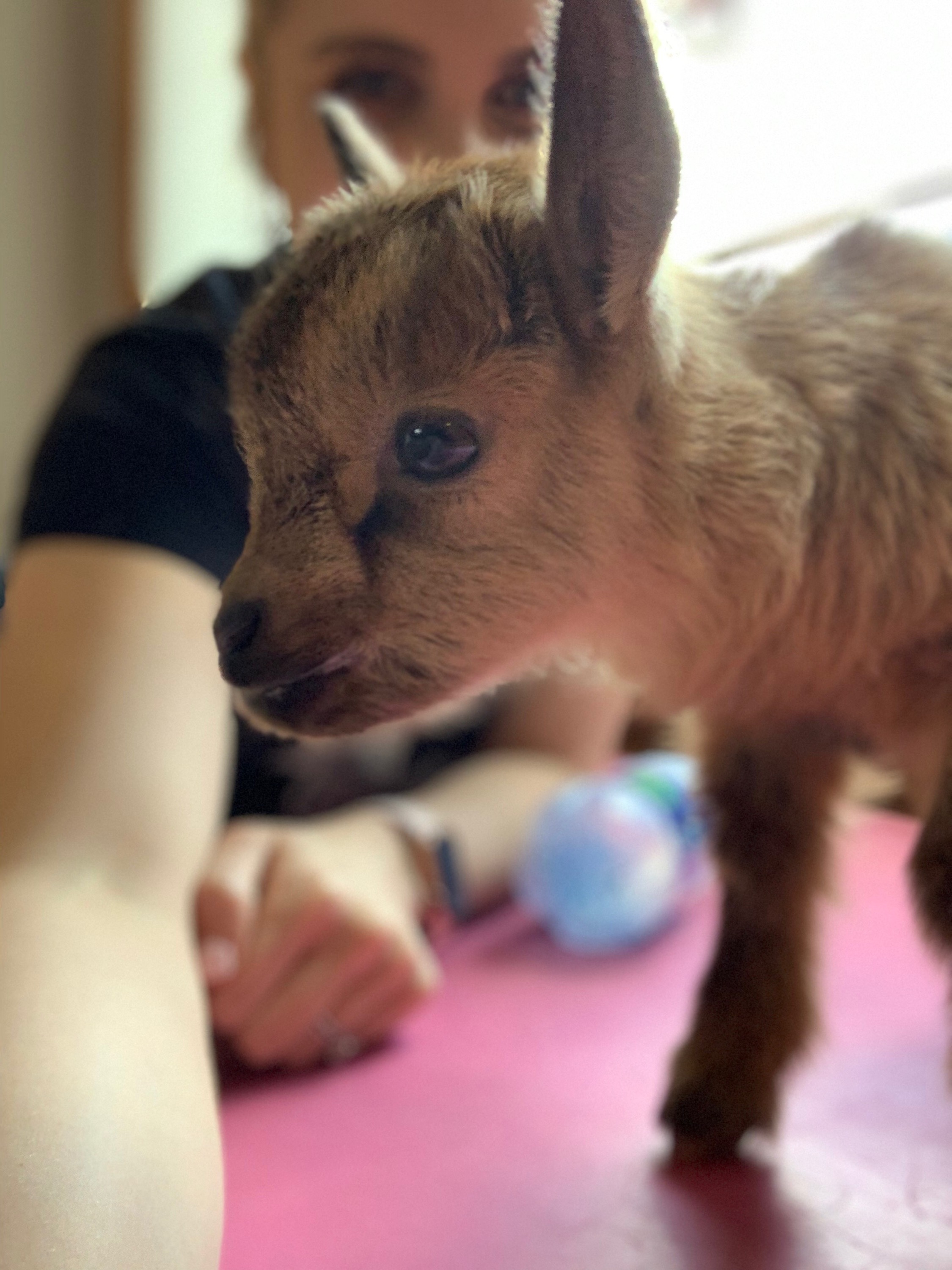 The Things I learned From Caribou - What a week with a baby goat will teach you.