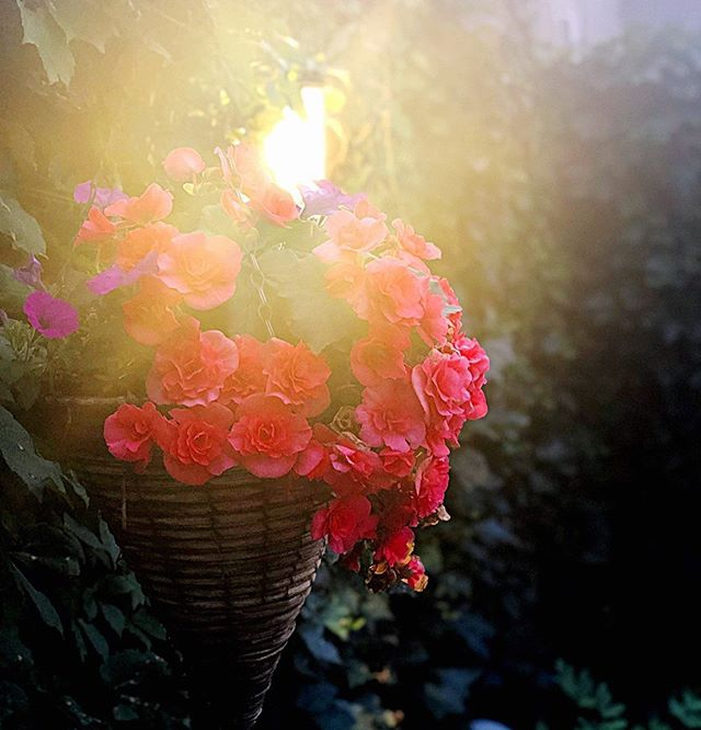 Begonias on a South Dakota summer night. . . . #begonia #hifromsouthdakota #mckennanpark #summernights