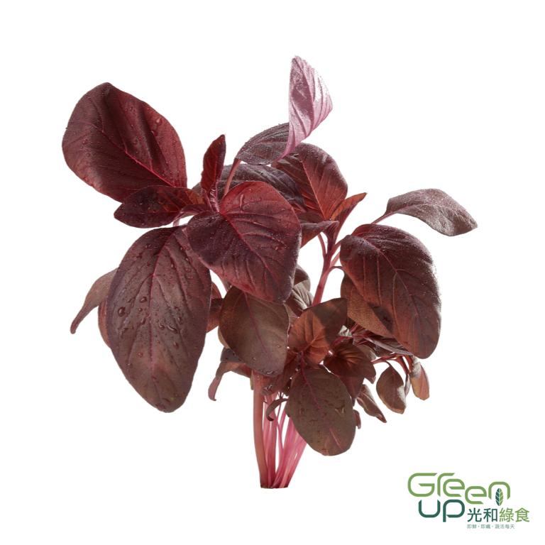 Garnet Red Amarenth 小品紅莧菜
