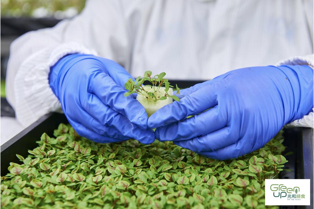植物工廠照片with logo.022 小品紅莧菜 光合綠食 萵苣 生菜 沙拉.jpeg