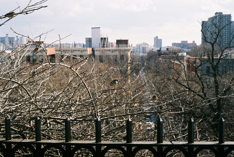 A bird looks out over the rest of Harlem and The Bronx behind it. Sugar Hill, Manhattan.  Kodak Ultra Max 400. Pentax K1000. Fletcher Berryman 2019.
