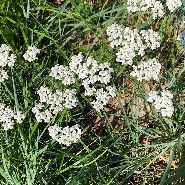 Yarrow, the healer.