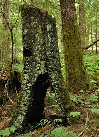 Old burnt tree stump.jpg