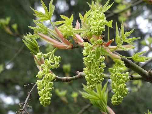 bigleaf maple flowers.jpg