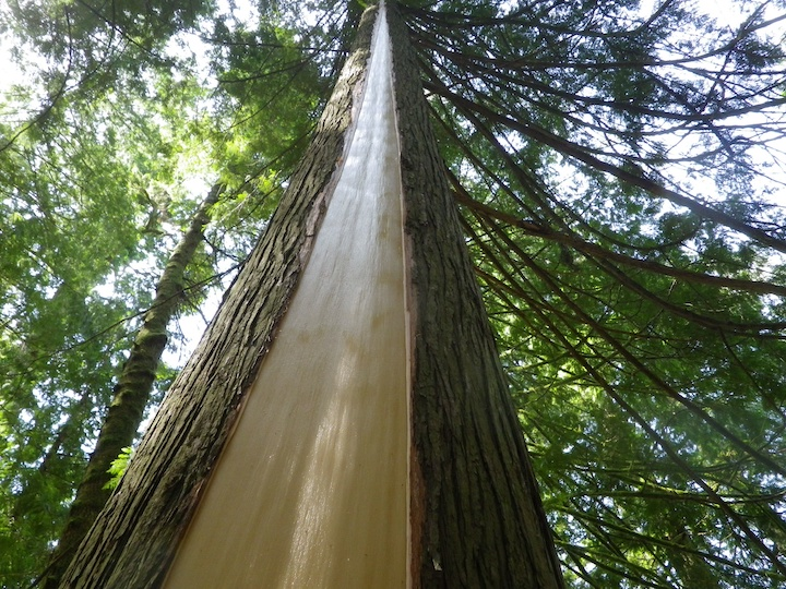 A culturally modified cedar tree