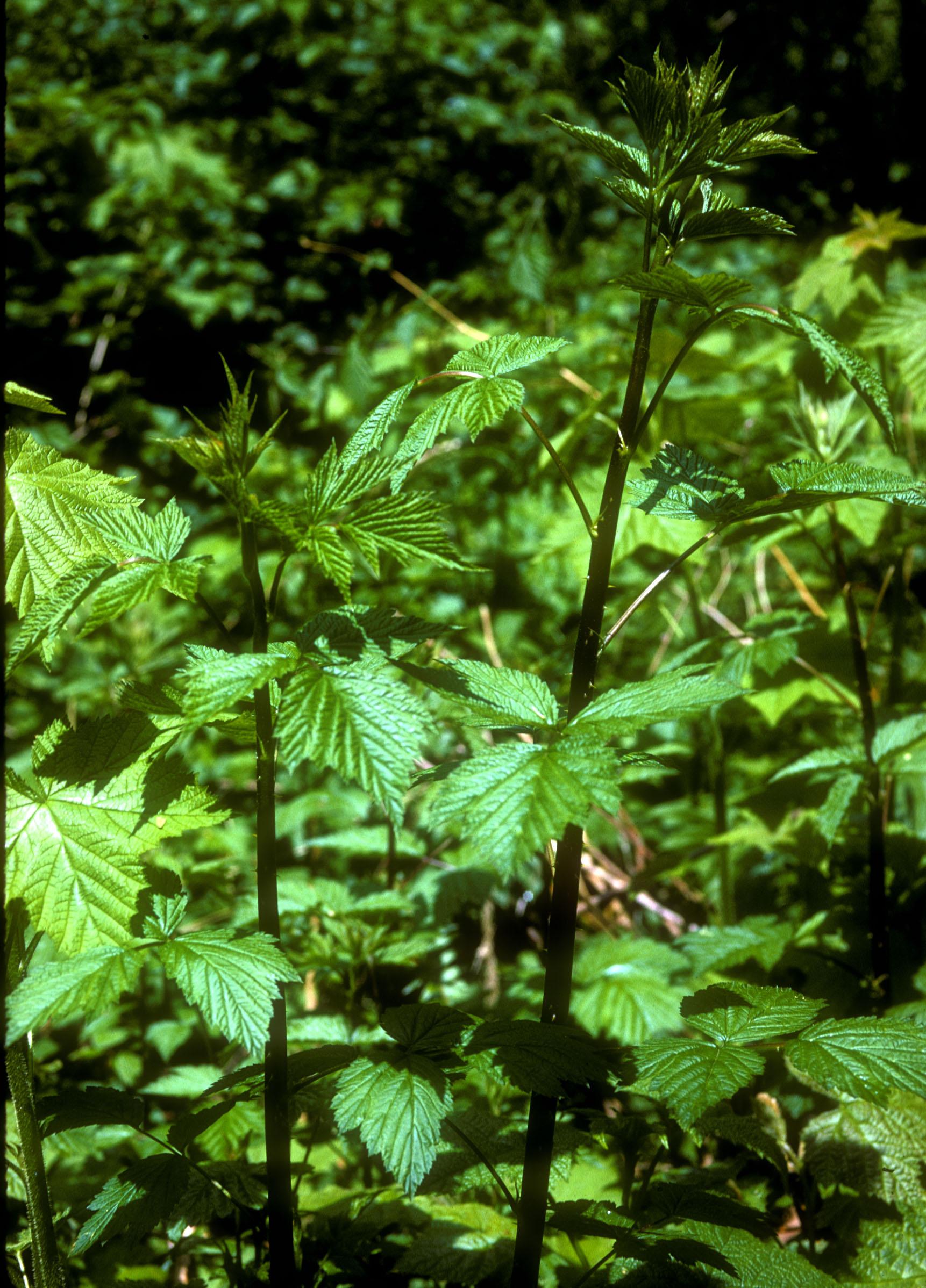 Rubus-spectabilis.jpg