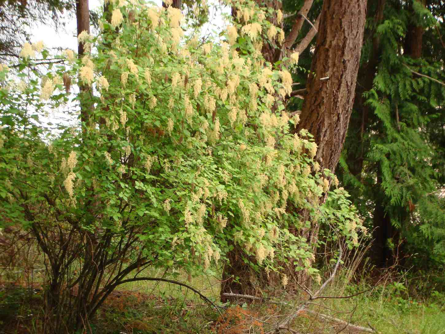 Holodiscus-discolor-tree.jpg