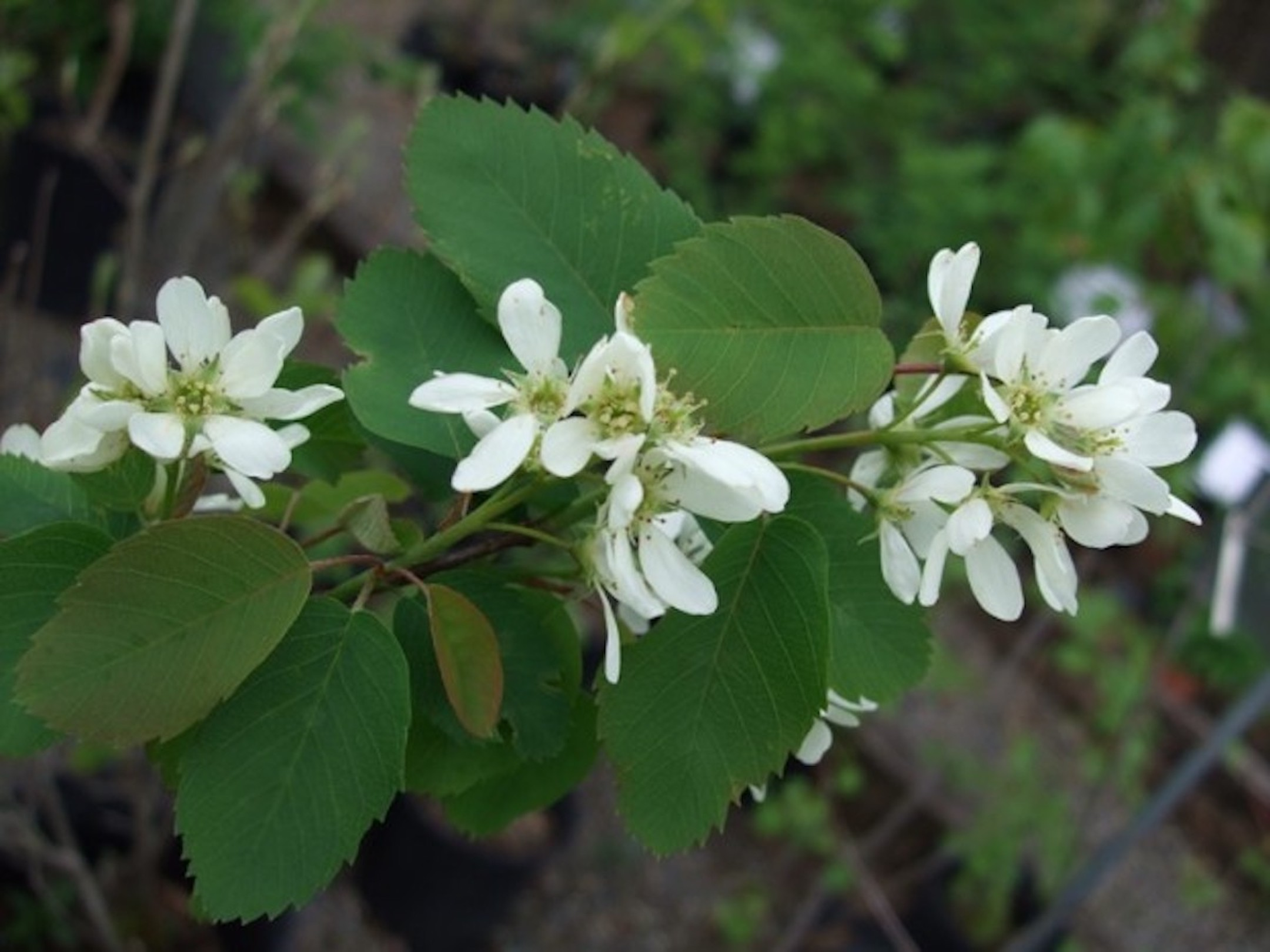 Amelanchier-alnifolia-flowers.jpg