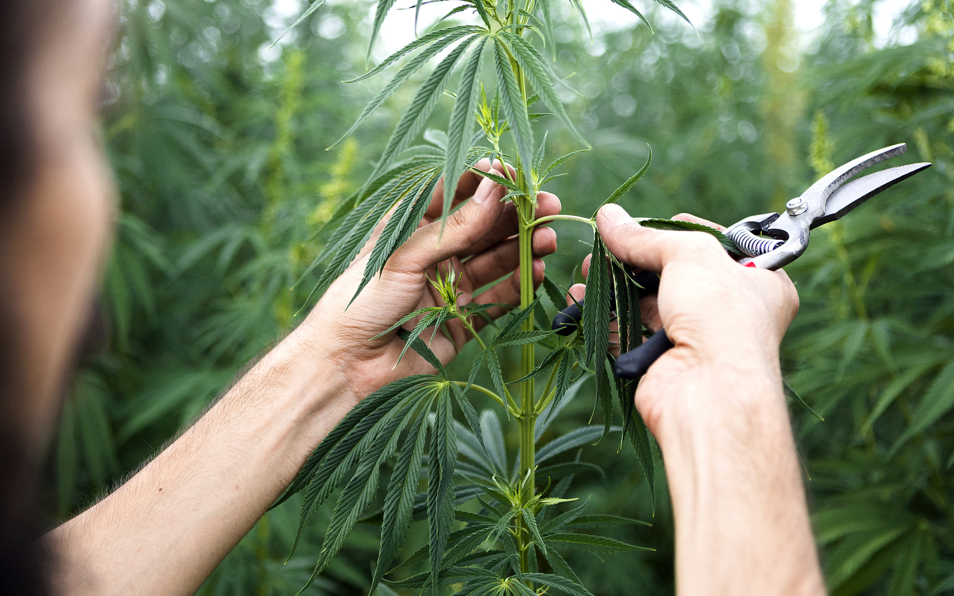 tips-for-growing-industrial-hemp.jpg