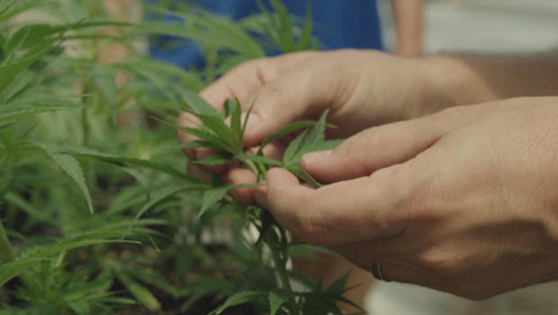 Cannabidiol (CBD) is derived from the hemp plant. CBS NEWS