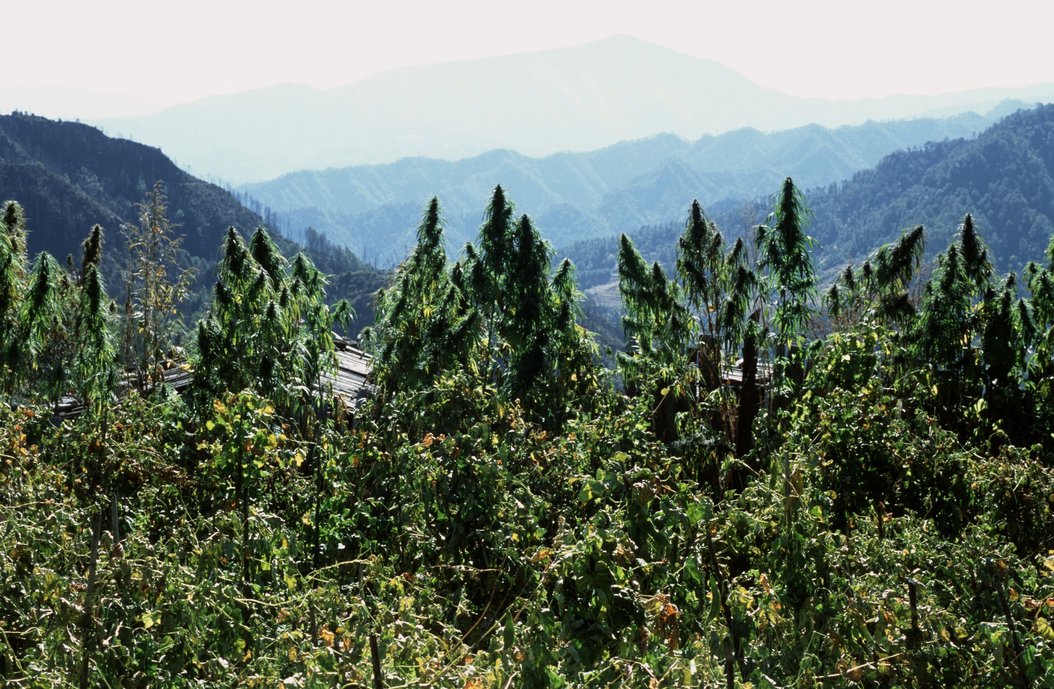 Cannabis growing in Yunnan Province in China in 2004. Yunnan is now licensing companies to cultivate the plant to produce cannabidiol.CreditCreditLeisa Tyler/LightRocket, via Getty Images