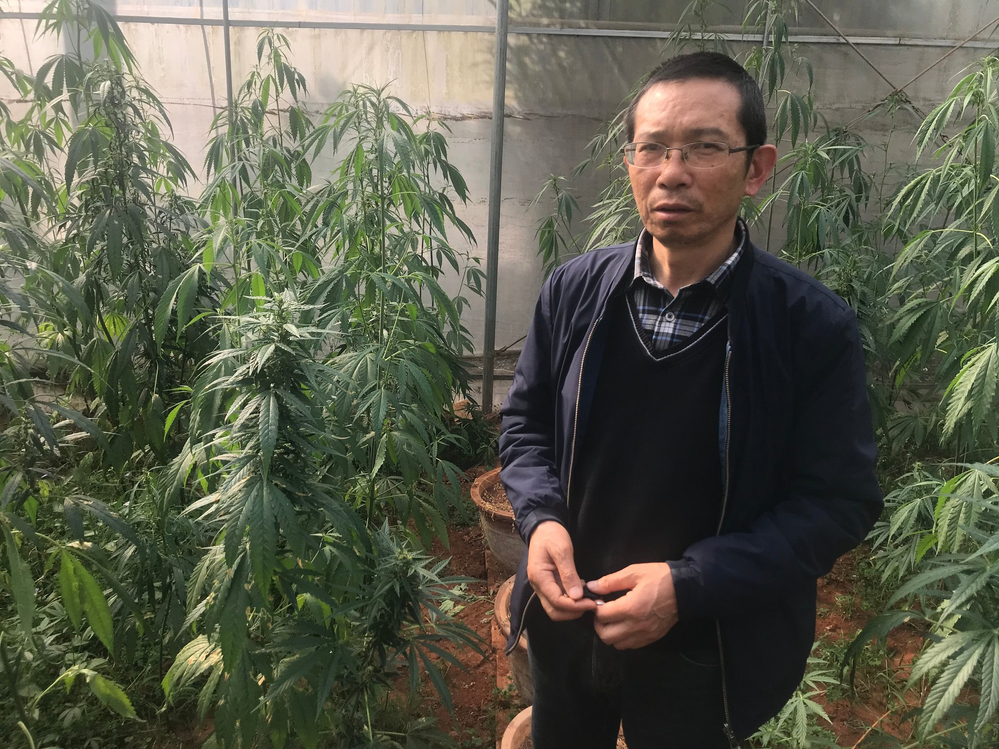 China has cultivated cannabis for thousands of years. Yang Ming, a leading expert on hemp, said the plant's seeds were traditionally formed into a ball and used to treat constipation.CreditSteven Lee Myers/The New York Times