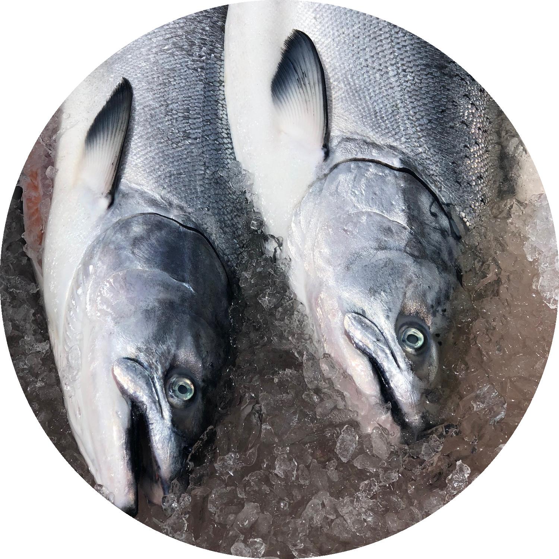 KING SALMON - AKA Chinook Salmon