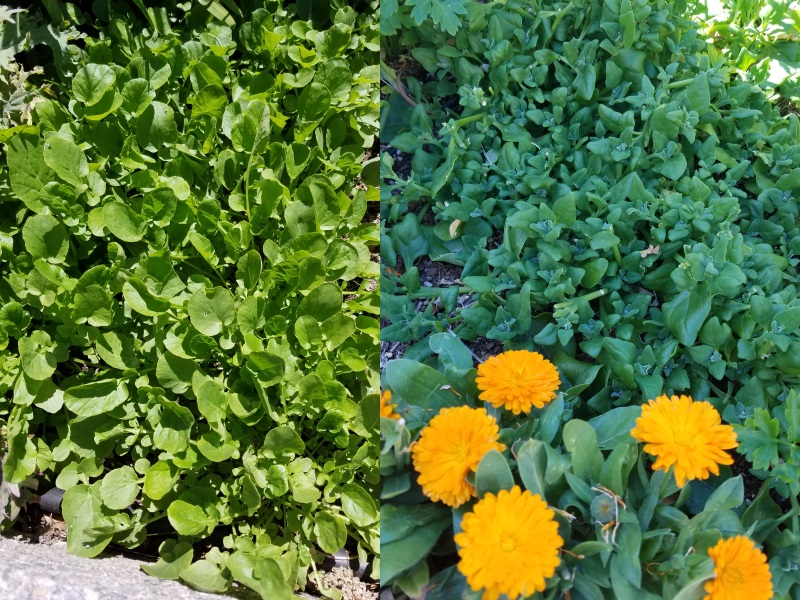 Cool season leaf crops usually won't perform well in the heat, but they can still produce baby greens (left.) A patch of New Zealand spinach (right, behind the orange calendula flowers) is a cut-and-come-again salad crop for weeks on end.