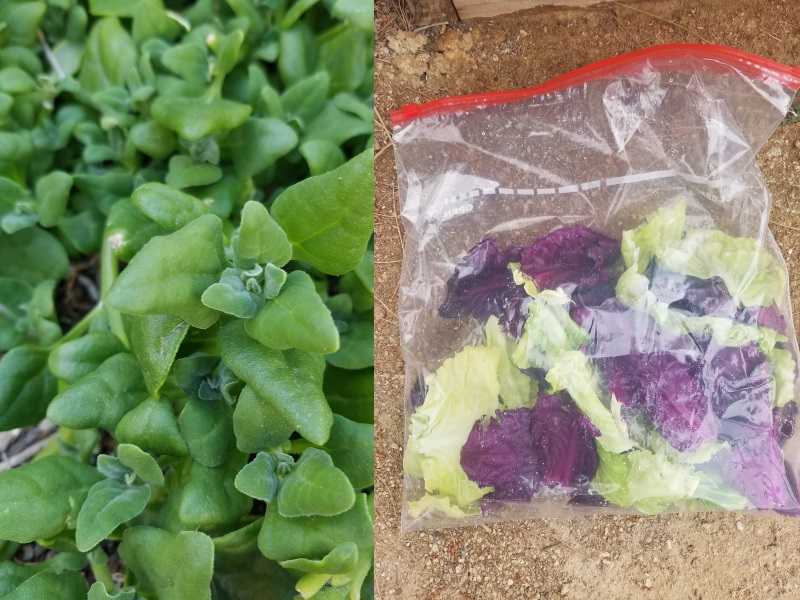 New Zealand spinach (left) pairs well with cabbage leaves (right.)