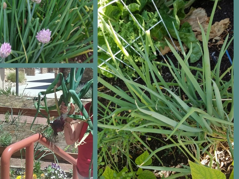 One or more onion family crops may be ready to harvest in mid-spring. Red onion photo (lower left) by Farmer Dana. Chive (upper left) and green onions (right) photos by Farmer Sarah