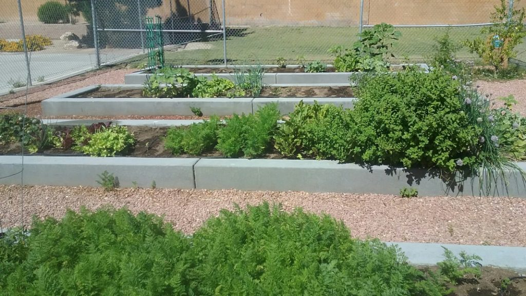 Oregano (center right) growing in the Thiriot Elementary School Garden. Photo by Farmer Dana