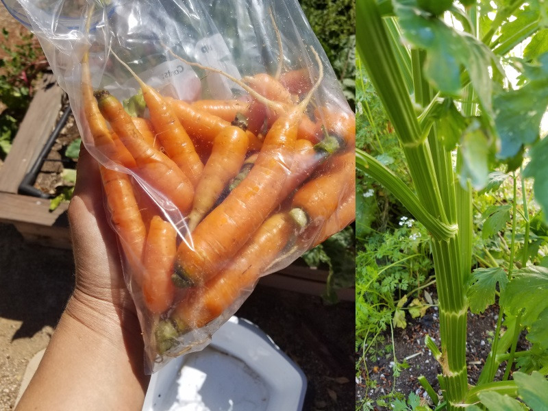 Carrots harvested near Sunset Park, celery growing in Henderson.