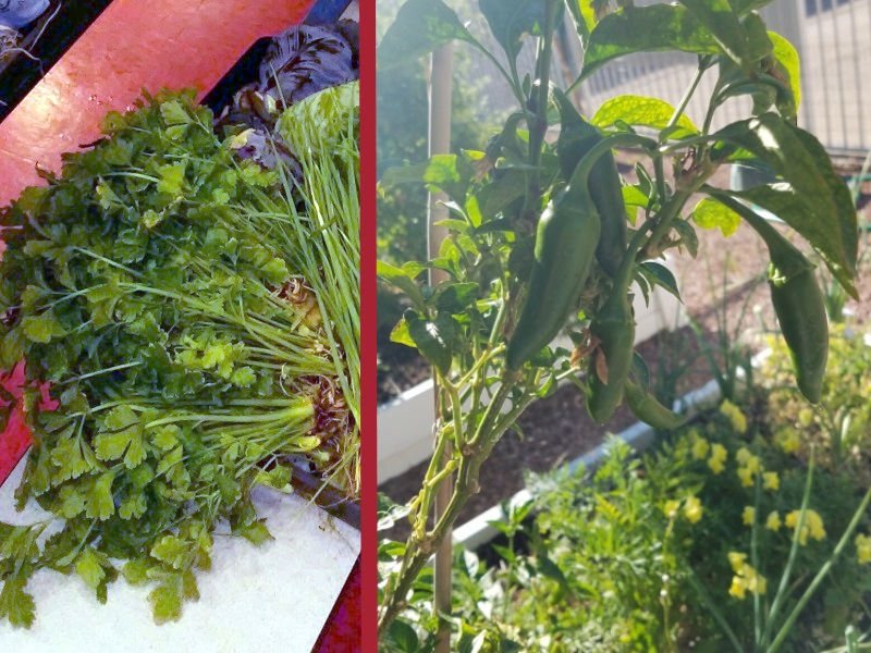 Cilantro (left) harvested at Walter Bracken Elementary School, photo by Farmer Cabble. Overwintered jalapeños (right) in the Paradise Square Apartments courtyard garden, photo by Farmer Sarah.