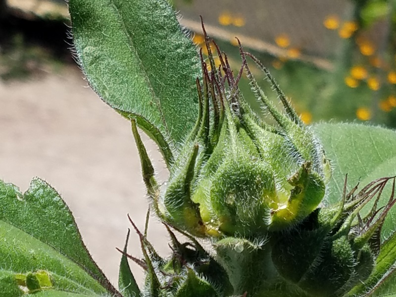 Sunflower buds are good artichoke substitutes. Just don't pick too many or you'll get no blooms!
