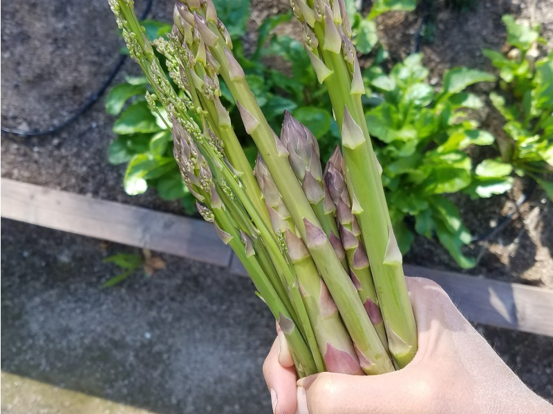 These asparagus spears are thick enough to harvest. Do not harvest very thin spears. Instead, let them leaf out and grow for the rest of the year to keep the plants healthy until the next harvest season.