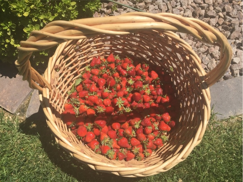 Strawberries! Photo by Farmer Hannah.