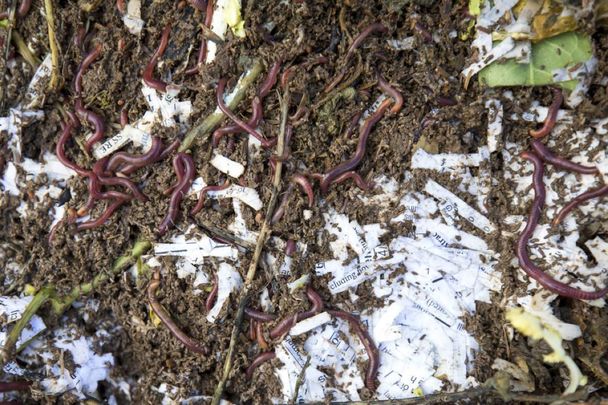 Red worms break down compost in a vermicompost bed at the San Miguel Community Garden located at 3939 Bradley Road in Las Vegas on Saturday, Jan. 12, 2019. Richard Brian Las Vegas Review-Journal @vegasphotograph