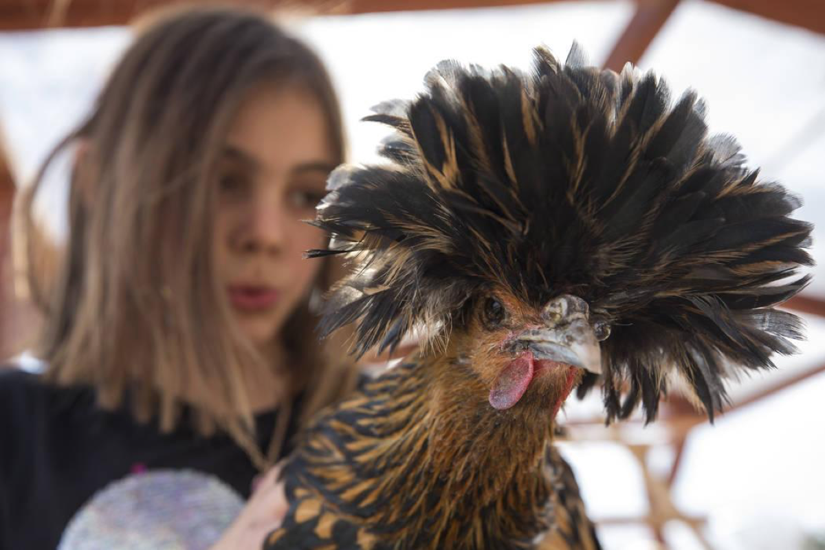 Berlynn Bedard, 8, holds up a Polish chicken, a European breed of chickens known for its crest of feathers, during a volunteering event at the San Miguel Community Garden located at 3939 Bradley Road in Las Vegas on Saturday, Jan. 12, 2019. Richard Brian Las Vegas Review-Journal @vegasphotograph
