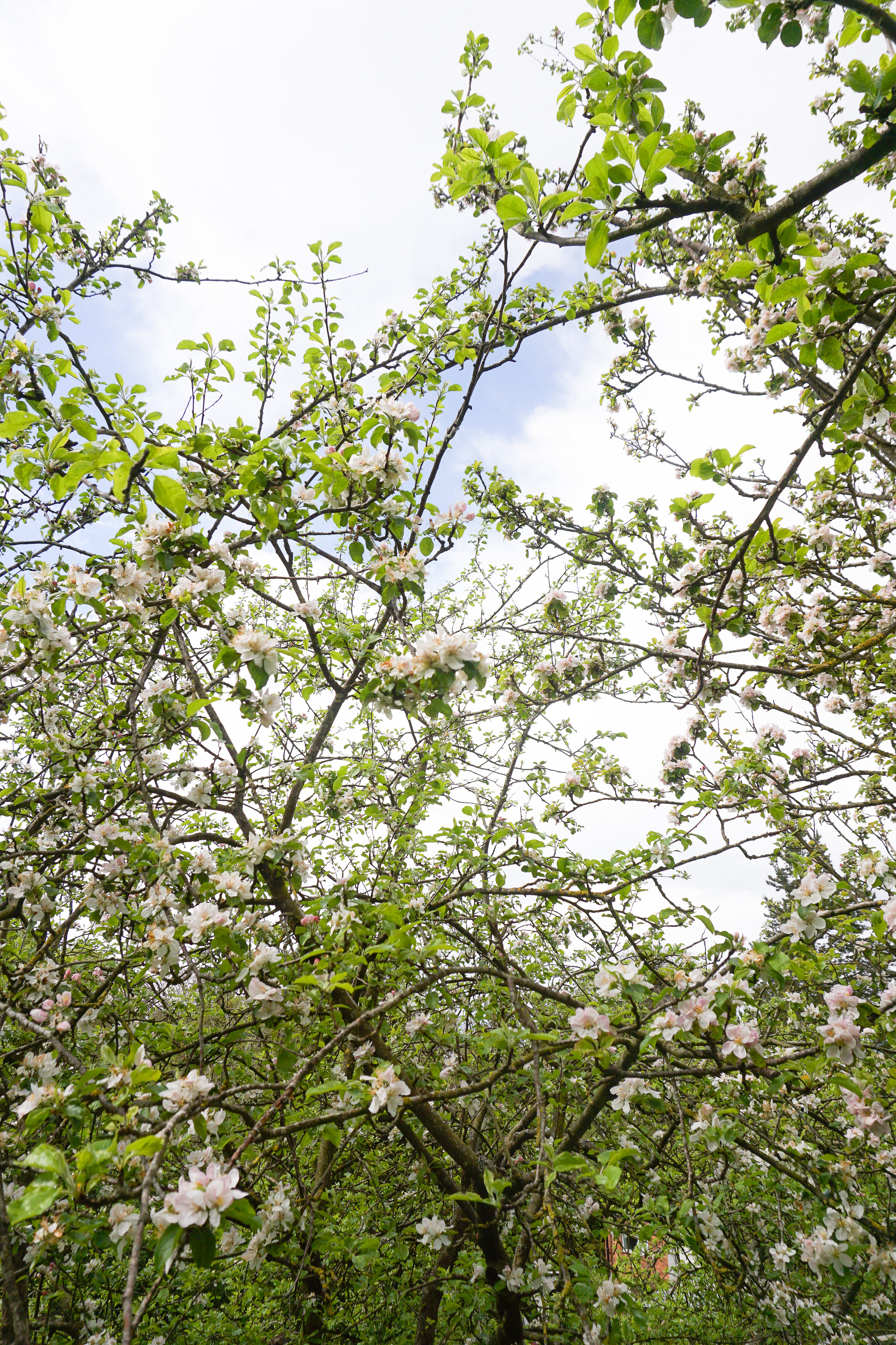 Apple blossom trees in North Wales