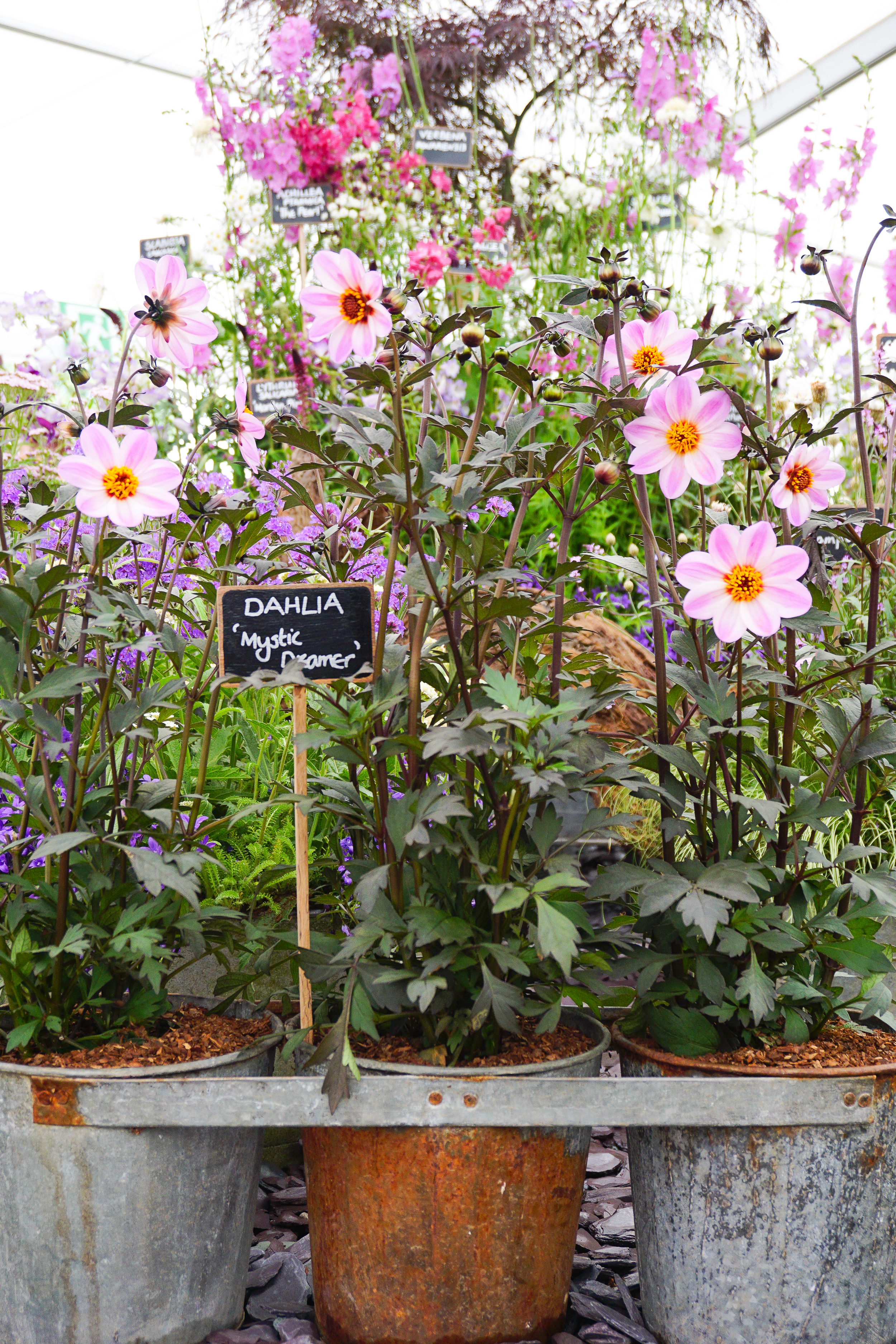 RHS Tatton Park Flower Show ... thoughts on my first visit