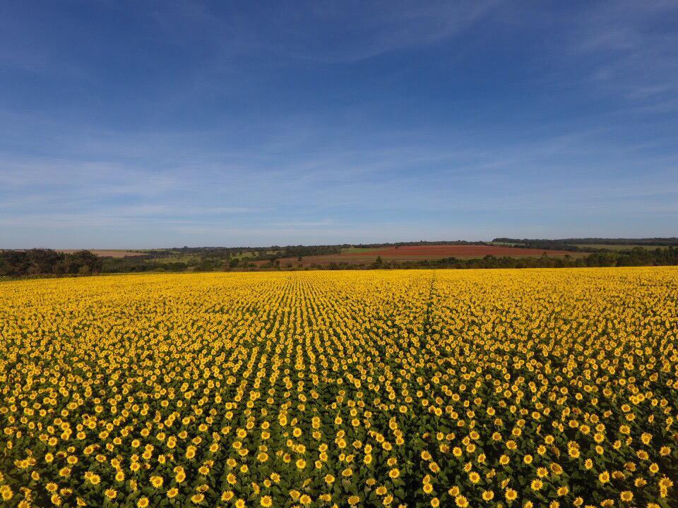 Floração de lavoura de girassol na região de Ipameri (GO)