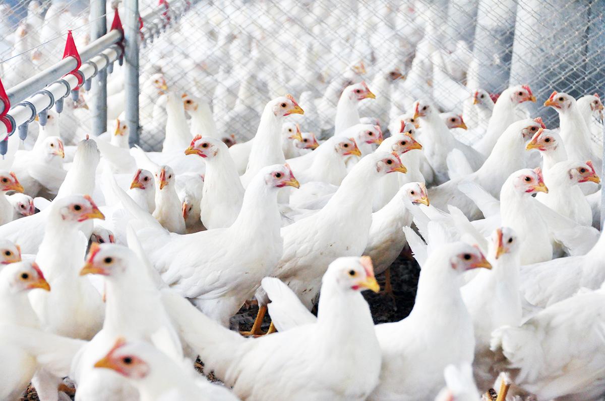 Avicultura - Lucas Scherer - Embrapa Suínos e Aves.jpg