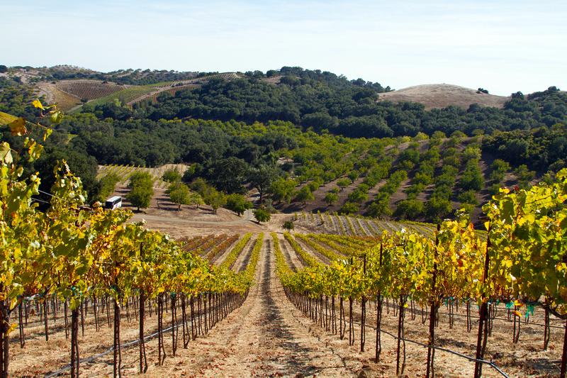 Hillside vines at Luna Matta Vineyards
