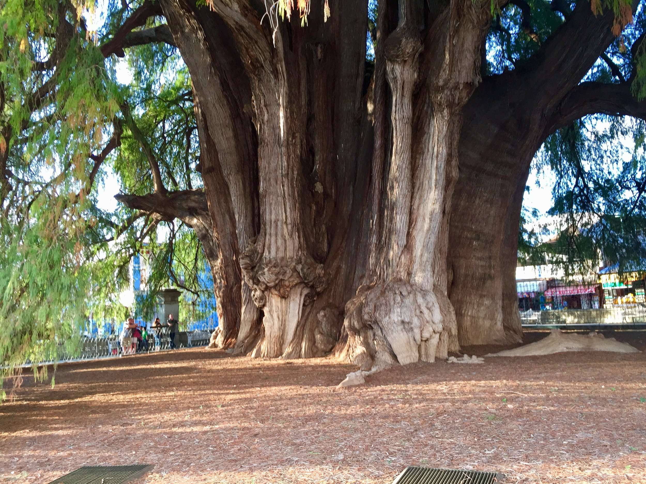 An ancient cypress in El Tule. At over 38' in diameter, it's the widest tree in the entire world.