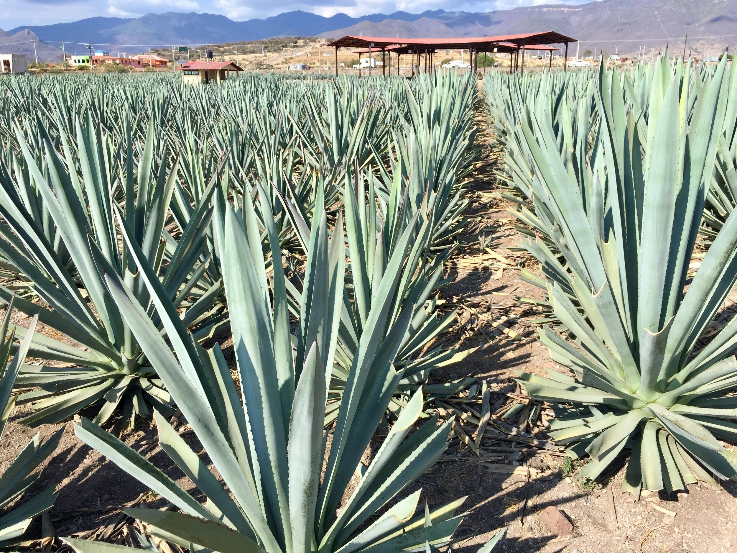 Agave fields at Casa AGP